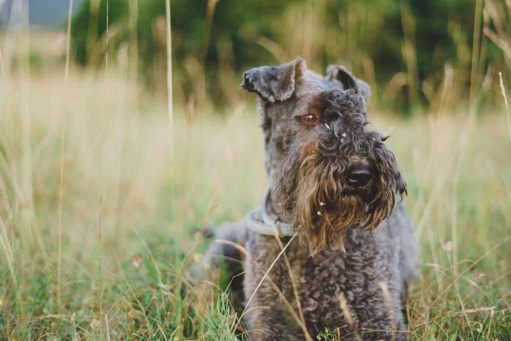 Kerry Blue terrier1_regina