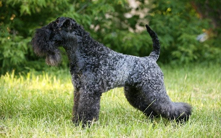 Kerry Blue terrier2_regina