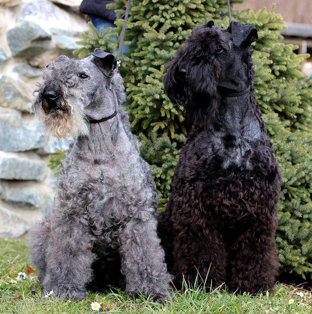 Kerry Blue terrier3_regina